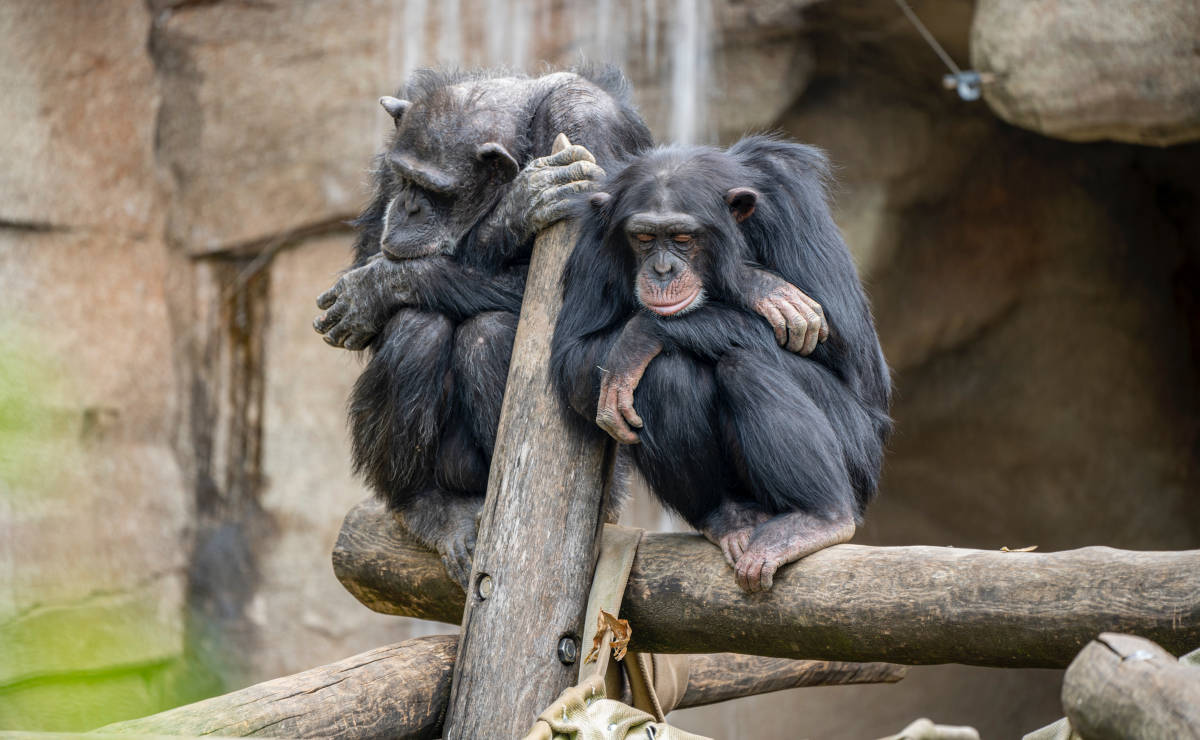Chimps resting on a fence rail