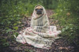 Pug wrapped in a blanket to look like yoda.